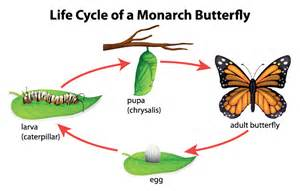life-cycle-of-monarch-butterfly